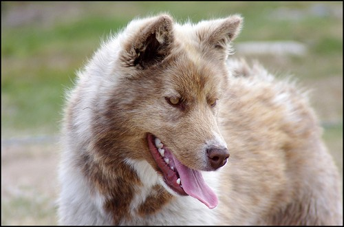 Most Expensive Dog Breeds - Canadian Eskimo