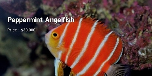 #3 Peppermint Angelfish