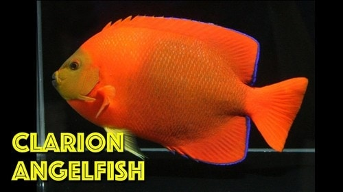 Most Expensive Fish -  Angelfish