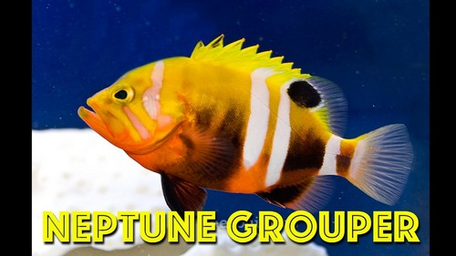Most Expensive Fish - Neptune Grouper