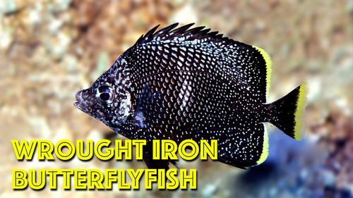 Most Expensive Fish - Wrought Iron Butterflyfish